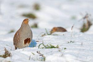 Grey Partridge ( Perdix perdix ) in snow, winter, non-migratory, standing upright, showing its typic