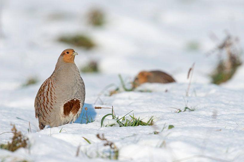 Grey Partridge ( Perdix perdix ) in snow, winter, non-migratory, standing upright, showing its typic van wunderbare Erde
