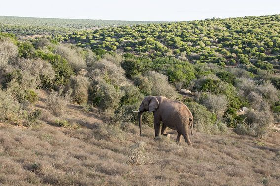 Afrikaanse olifant in Addo Elephant Park.