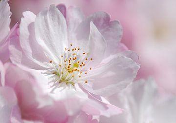 Kirschblüte  sur Violetta Honkisz