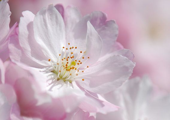 Kirschblüte  van Violetta Honkisz
