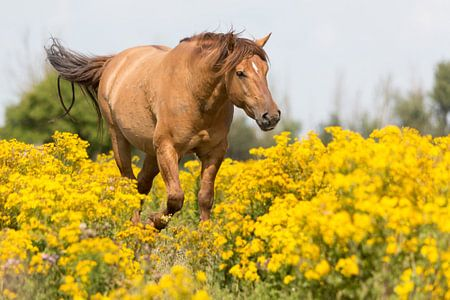 Rossig konikpaard door het geel Oostvaardersplassen
