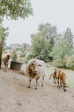 Schafe auf der Wiese von Huib Vintges