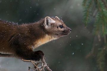 American Pine Marten ( Martes americana ) in light snowfall, sitting in a conifer tree, close-up, Ye van wunderbare Erde