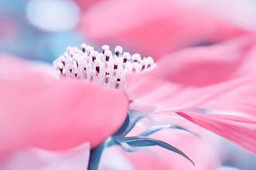 Cosmea Pink von Violetta Honkisz