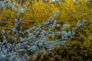 in voller Blüte in Weiß- und Gelbtönen von wil spijker