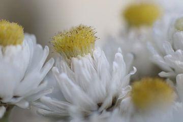 Makro-Blume in weichem Weiß von Geert Naessens