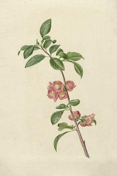 Bloeiende tak Japanse kers van C.J. Kruimel, 1700 - 1800