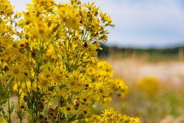 Gelbe Blumen mit einer Biene in den Dünen von Percy's fotografie