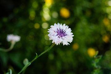 Kleine lila Frühlingsblume   Naturfotografie von Diana van Neck Photography