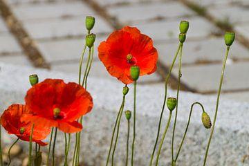 Poppies am Straßenrand von Daniela Tchinitchian Photography