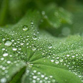 regendruppels op vrouwenmantel van Hanneke Luit