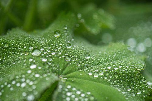 regendruppels op vrouwenmantel van
