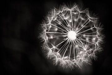 Feuerwerk Löwenzahn von JPWFoto