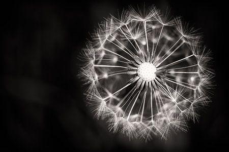 Dandelion Fireworks