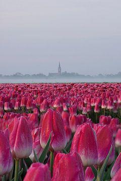 Tulpen veld op een mistige ochtend