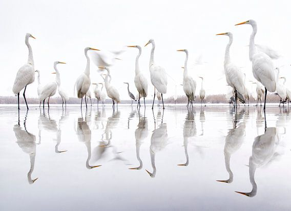 Great Egrets standing along the edge of a lake von AGAMI Photo Agency