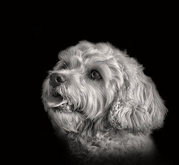 Hunde Porträt in Schwarzweiß von Dieter Beselt