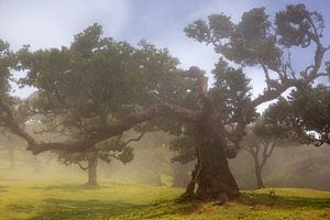 Laurel tree in the fog