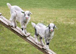 Twee jonge geitjes in de weide (in kleur) van