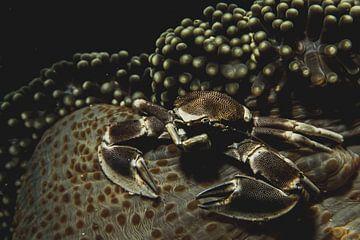 Crabe d'Indonésie sur corail sur Marco Vet