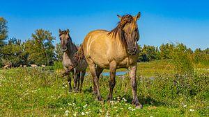 Paarden bij Slot Loevestein, Nederland
