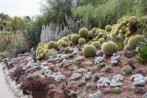 Cactussen in de woestijntuin van Huntington Gardens