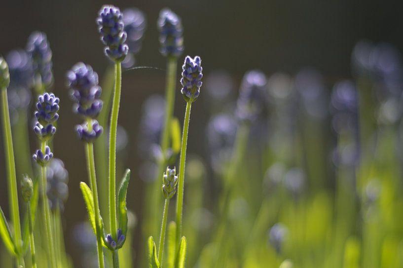 Lavendel van Maurice Konings