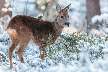 Roe Deer in winter sur Martin Bergsma