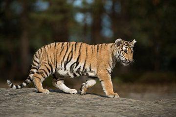 Royal Bengal Tiger ( Panthera tigris ), full body, side view van wunderbare Erde