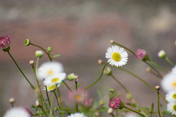 Witte madeliefje bloem van Dorota Talady