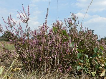 Heide in bloei van Klaas Roos