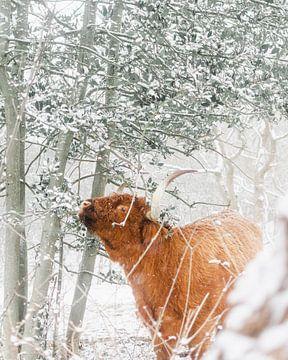 Schotse Hooglander in de sneeuw van Jan Willem De Vos