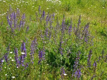 Salvia in einer angesäten Blumenwiese. von Wim vd Neut