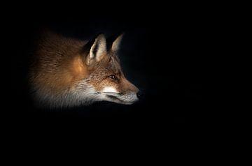 Le renard dans la lumière sur