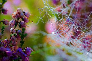 Spinnenweb met dauw op bloeiende heideplant