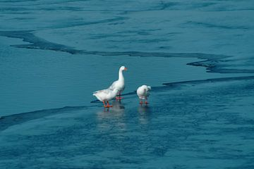ganzen op het ijs van wil spijker