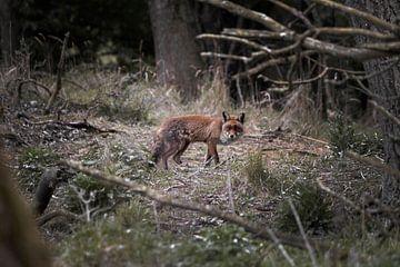Blick auf einen schleichenden Fuchs von Sharon de Groot