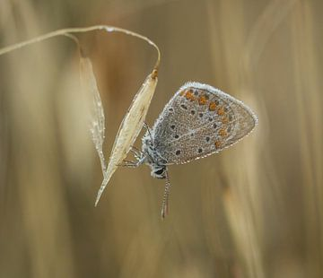 Blauwtje (vlinder) met dauwdruppels van Jan Roos