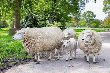 Gruppe von weißen Schafe mit Lamm auf der Straße in der Natur von Ben Schonewille