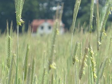 Idyllischer Traumplatz inmitten von Weizenfeldern von timon snoep