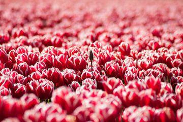 Tulpen von Frenk Volt