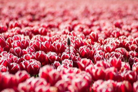 Laatbloeier (Tulpen)