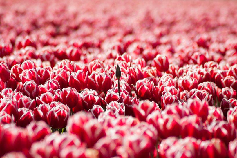 Laatbloeier (Tulpen) van Frenk Volt