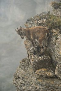 Alpine ibex (Capra ibex) standing in a steep cliff
