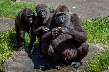 Drie gorilla's die kijken naar iets vreemds van Joost Adriaanse