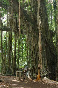 Oude Banyan boom met lianen, Bali van Inge Hogenbijl