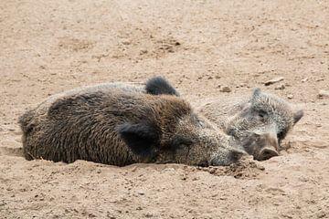 2 Wildschweine entspannt von Klaartje Majoor