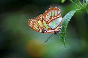 Malachietvlinder van Ineke Klaassen