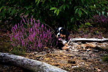 Berner Sennen puppy in de natuur van Danai Kox Kanters